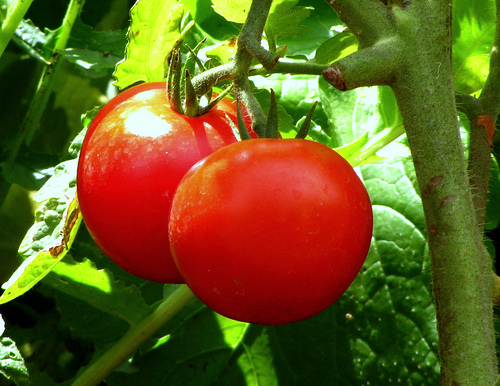 words on why it's so hard to beat a homegrown tomato  len, Natural flower