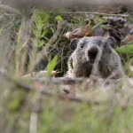 100 Words On: Why You Should Always Bet Against the Groundhog